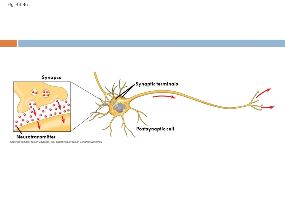 Neuron organization and structure reflect function in information 7 synapse synaptic terminals postsynaptic cell neurotransmitter ccuart Gallery