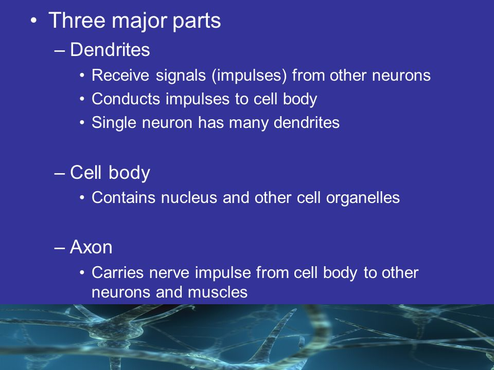The Human Body The Nervous System Ppt Download