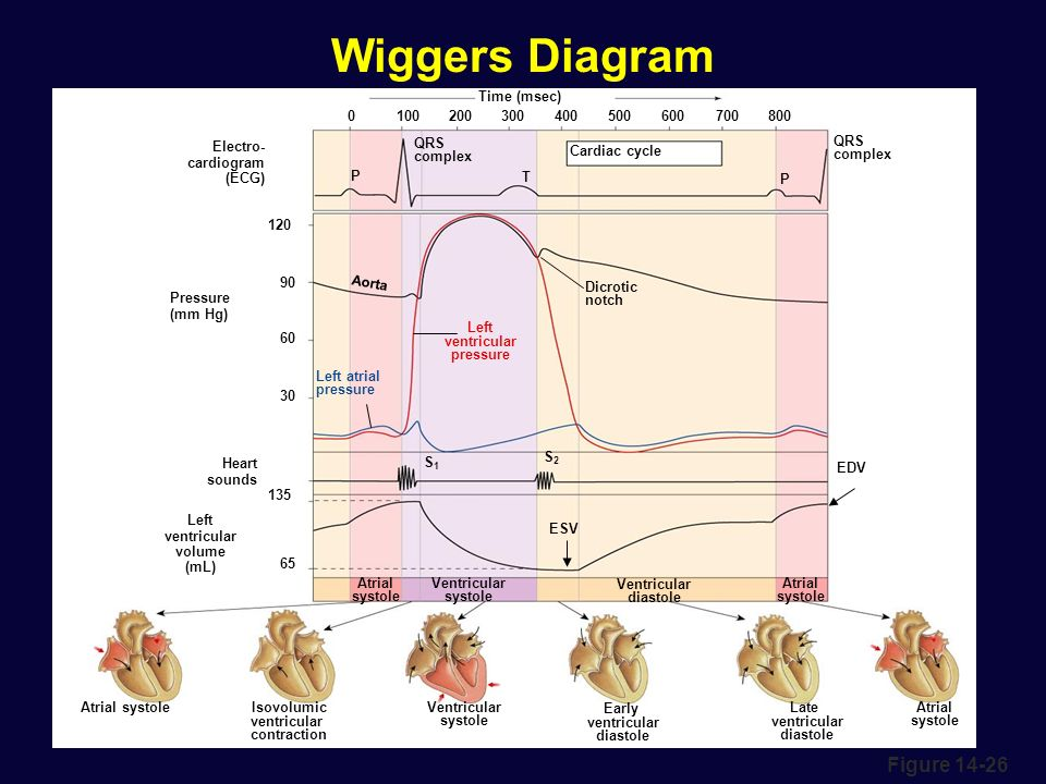 Cardiac physiology ppt video online download 29 wiggers diagram ccuart Images