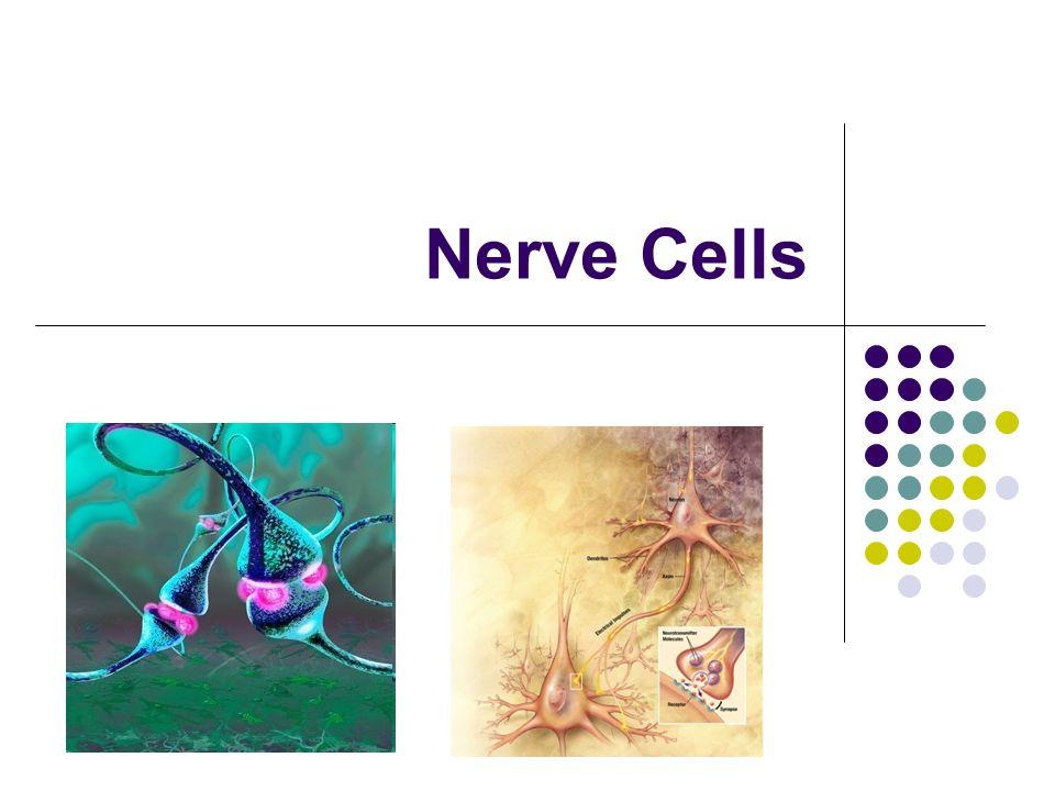 Nerve Cells. - ppt download