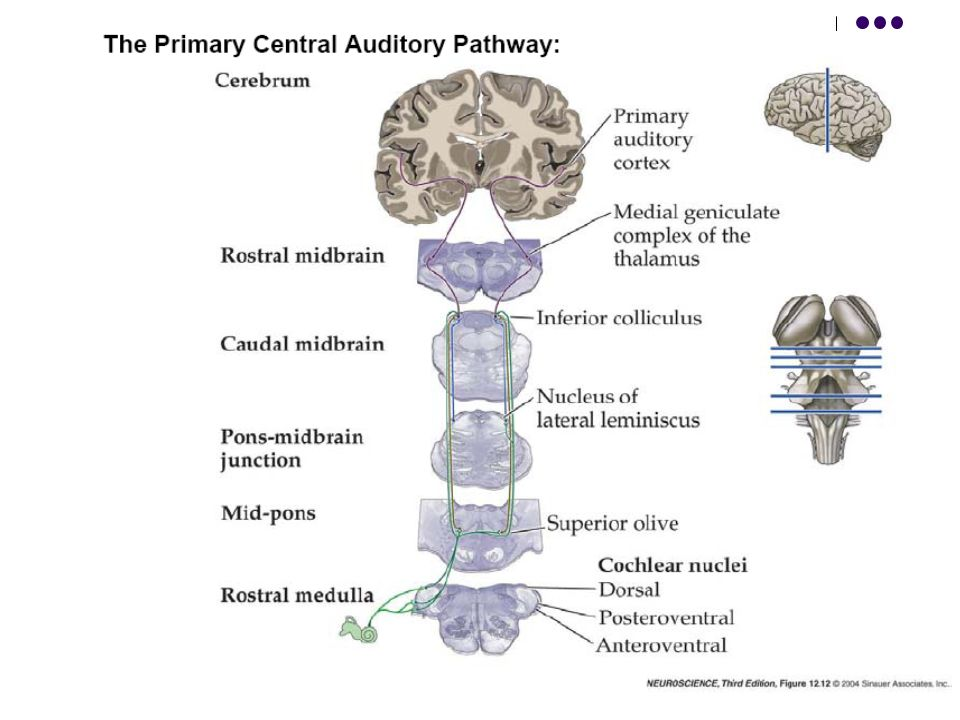 Central Auditory Nervous System Diagram Online Schematic Diagram