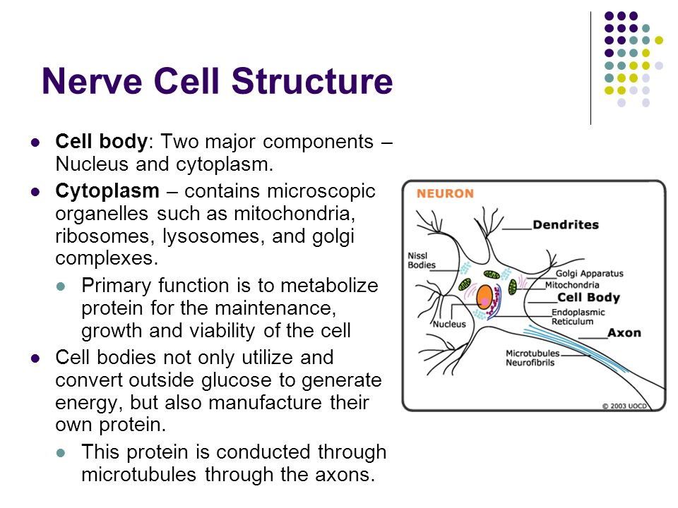 Neuron and functions lysosomes mitochondria diagram electrical nerve cells ppt download rh slideplayer com endoplasmic reticulum mitochondria origin ccuart Image collections
