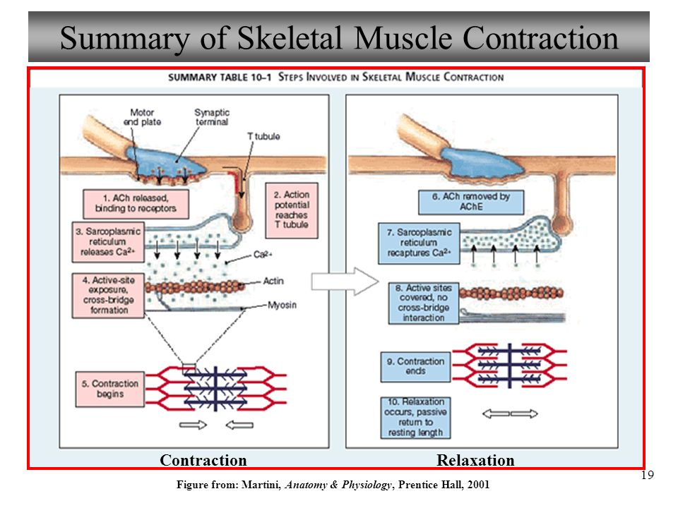 Chapter 9 Muscle Structure & Physiology Lecture ppt video online ...