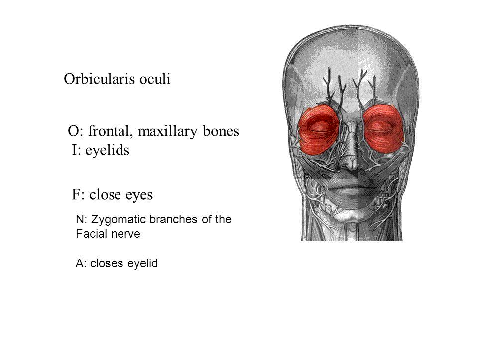 Frontalis O: galea aponeurotica I: eyebrows F: raise eyebrows, pull ...