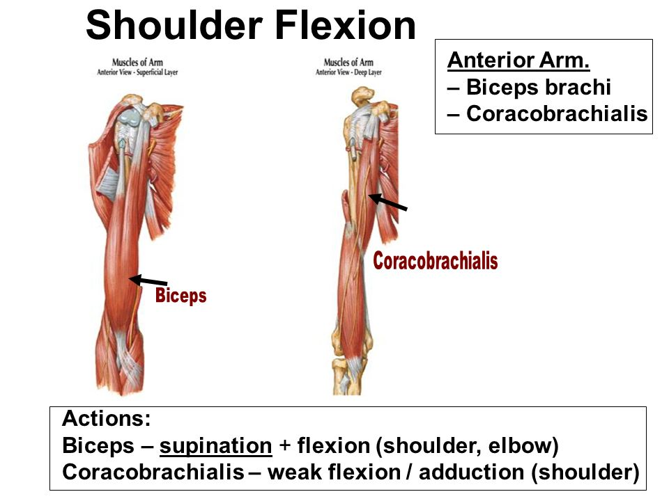 LEC: Anatomy: Upper Extremity I (Revised) - ppt video online download
