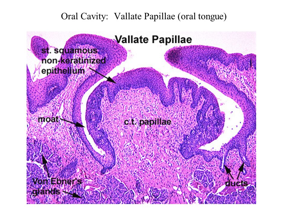 Oral Cavity Oral Tongue Ppt Download