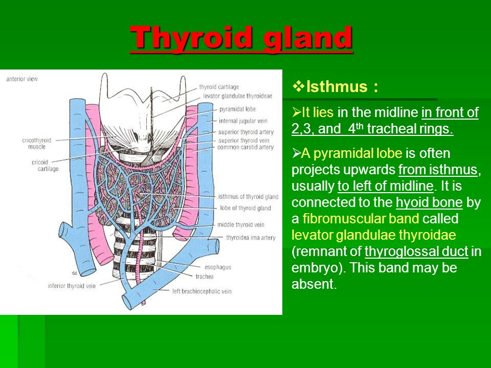 Thyroid Gland Structure It Is The Largest Endocrine Gland In The