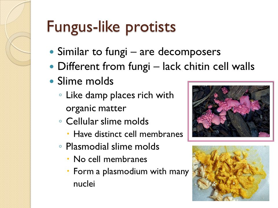 fungus like protists All fungus-like protists are able to move at some point in their lives there are essentially three types of fungus-like protists: water molds, downy mildews, and slime molds water molds: this fungus-like substance thrives on dead and decaying organic matter in the water.