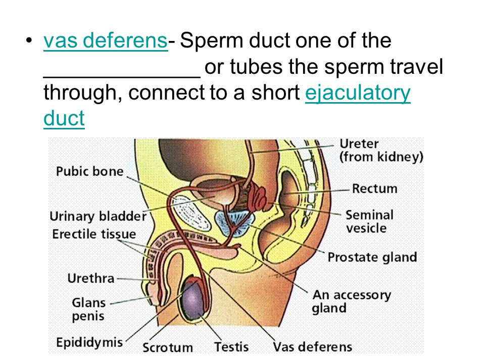 The Male Reproductive System Sperm Ppt Video Online Download