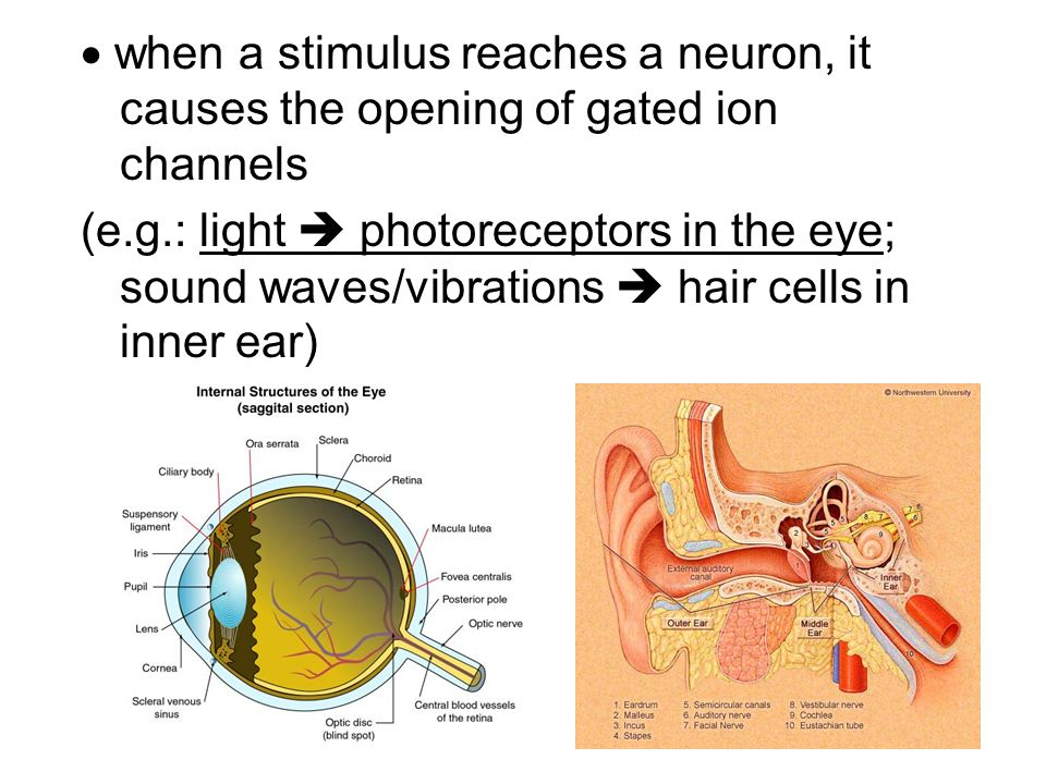  when a stimulus reaches a neuron, it causes the opening of gated ion channels
