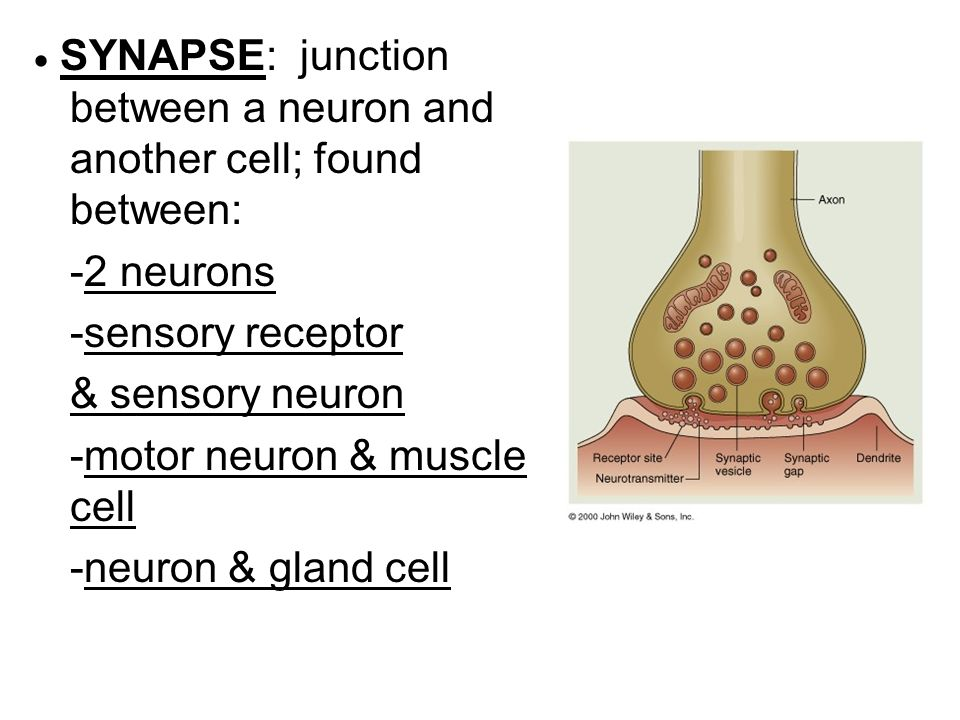 -motor neuron & muscle cell -neuron & gland cell