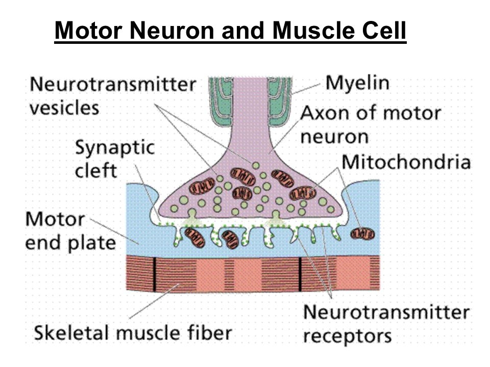 Motor Neuron and Muscle Cell