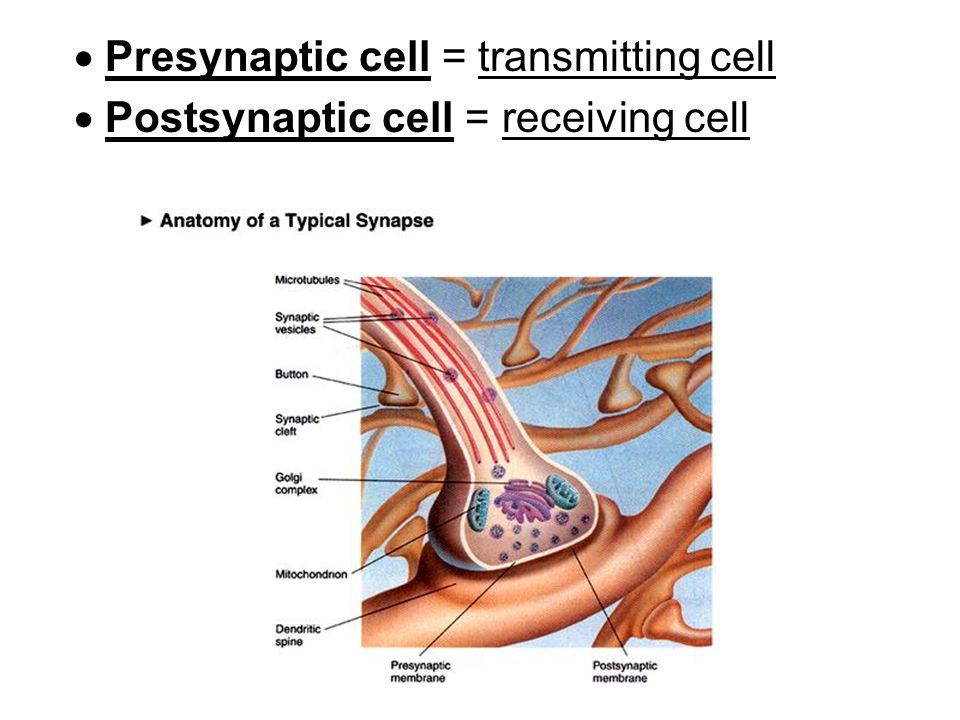  Presynaptic cell = transmitting cell