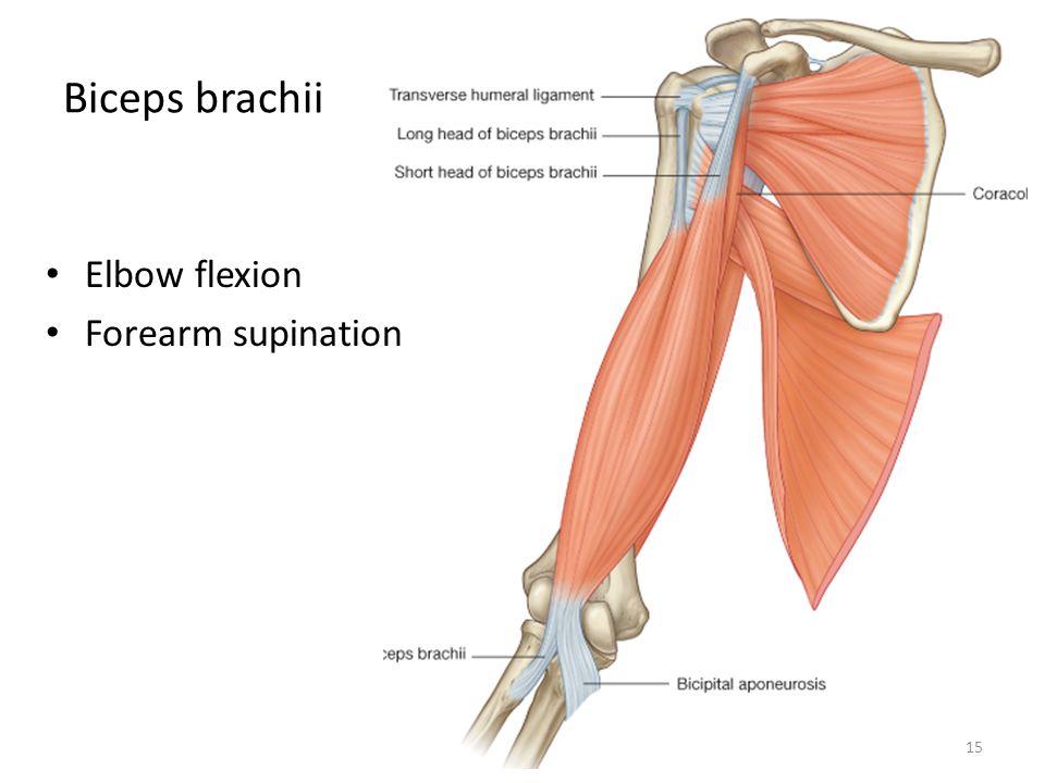 Movements Midcarpal Joint Radiocarpal Joint Wrist Joint Carpal