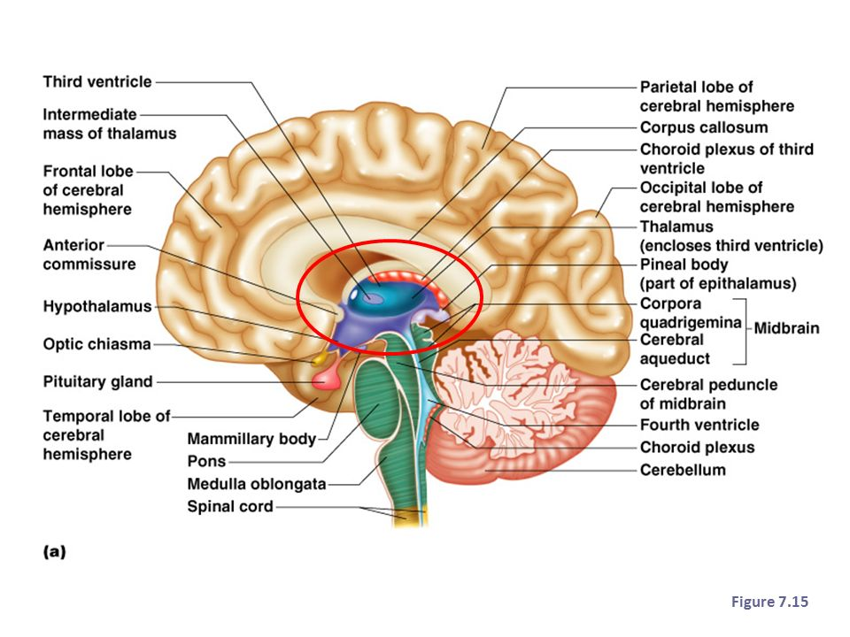 Brain Parts To Know Love Ppt Download