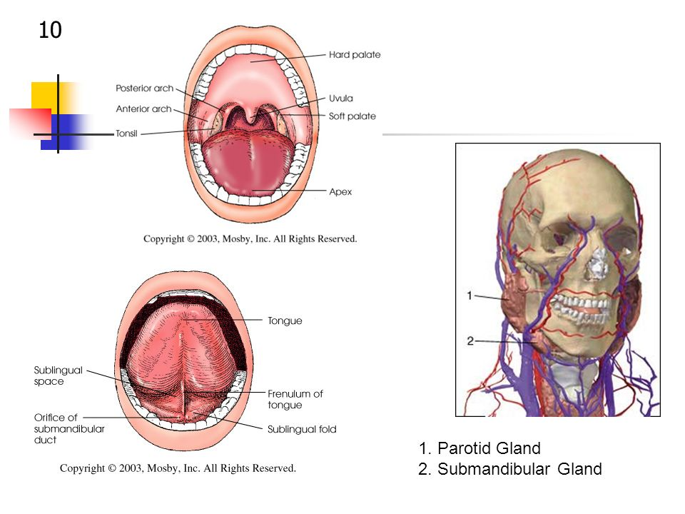 SIALOGRAPHY & THE SALIVARY GLANDS - ppt video online download