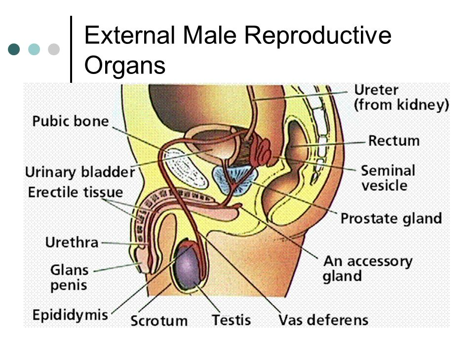 The Male Reproductive System - ppt download