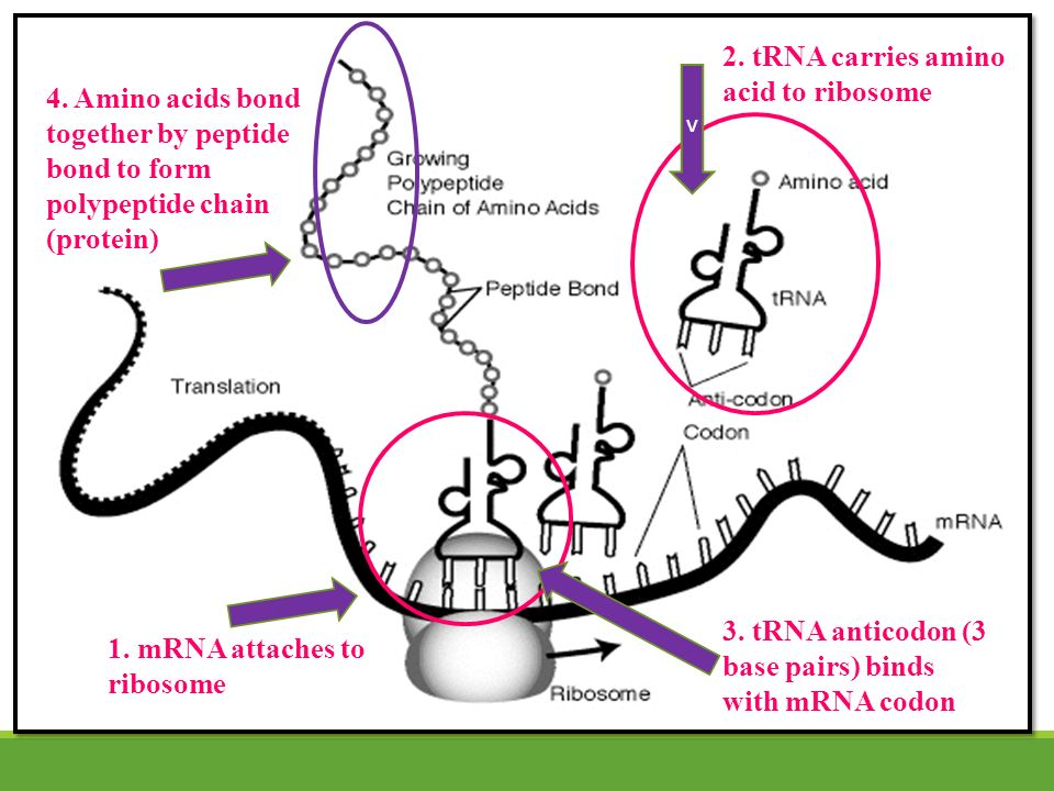 Amino Acid Chain Codon Anticodon Mrna Trna Amino Acid Diagram