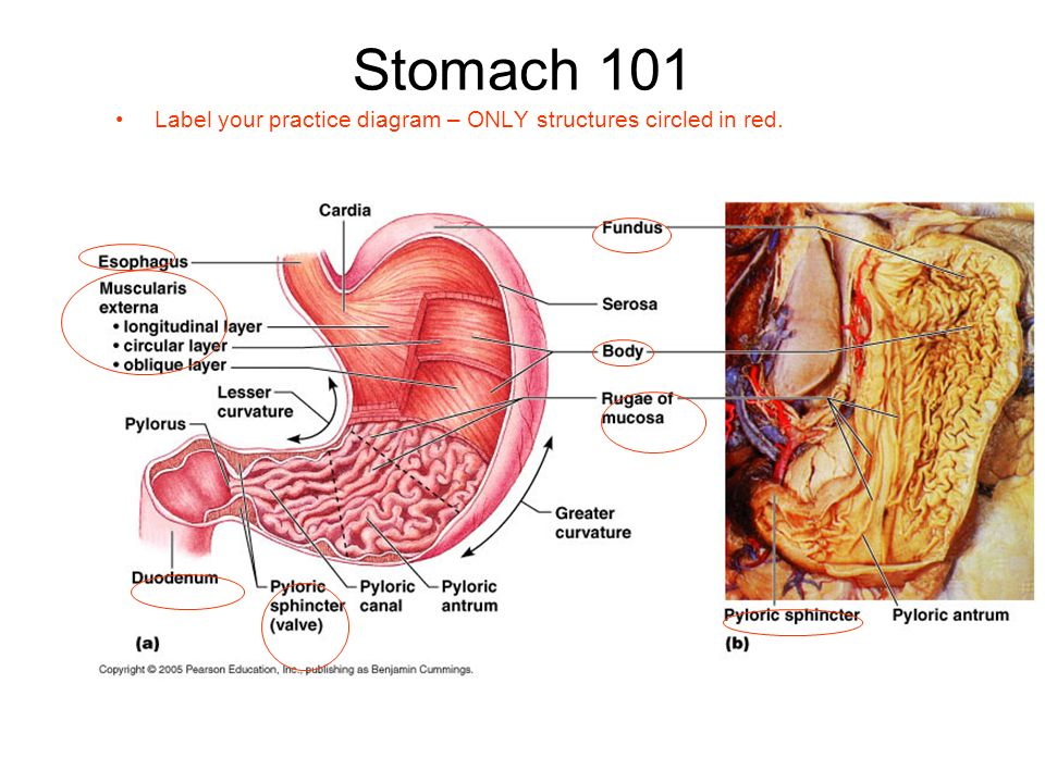 11 stomach 101 label your practice diagram – only structures circled in red