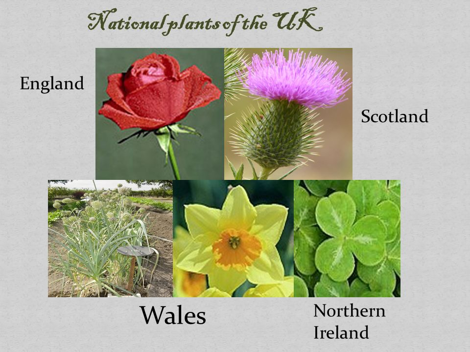 National Symbols Of The Uk Plants Ppt Video Online Download