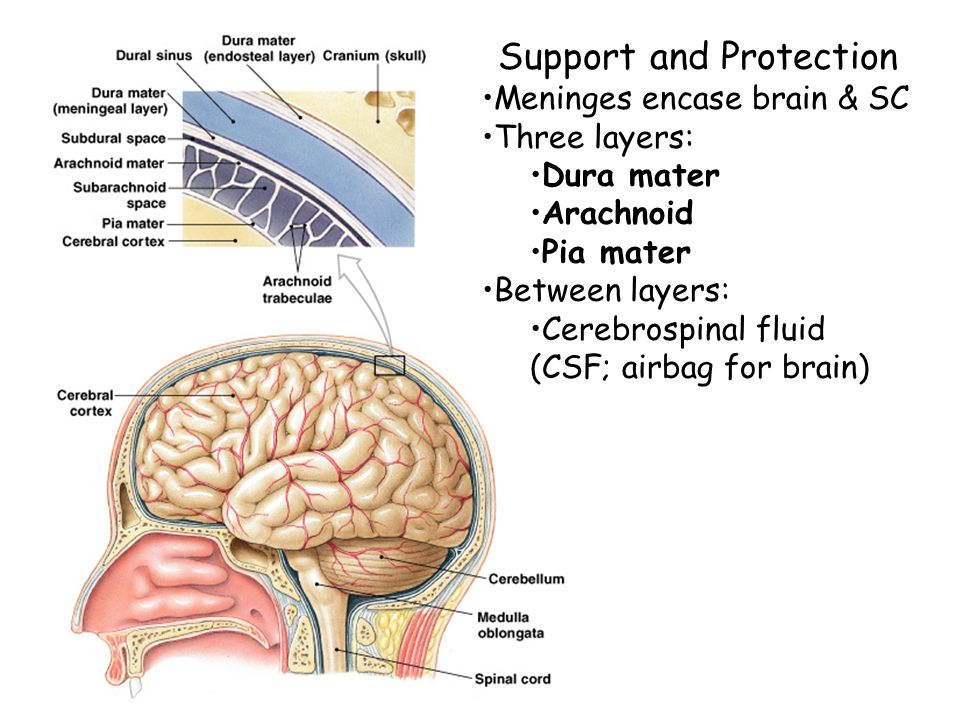 Cns Anatomy Of The Brain Ppt Video Online Download