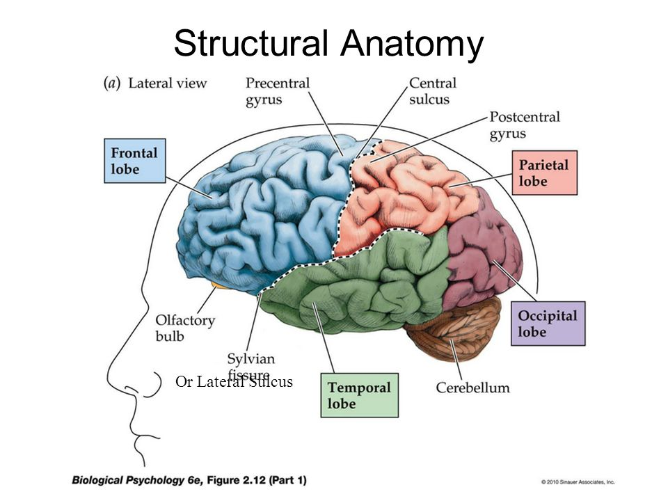 Outline Brain Anatomy Structures and functions - ppt video online ...