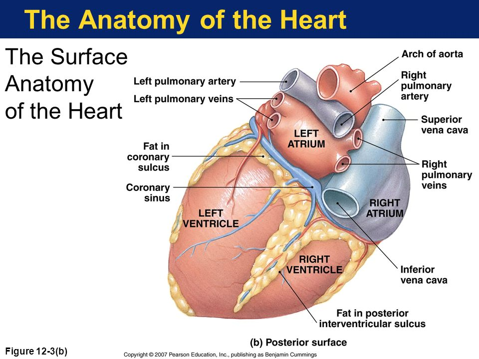 Hearts Place In The Circulation Ppt Download
