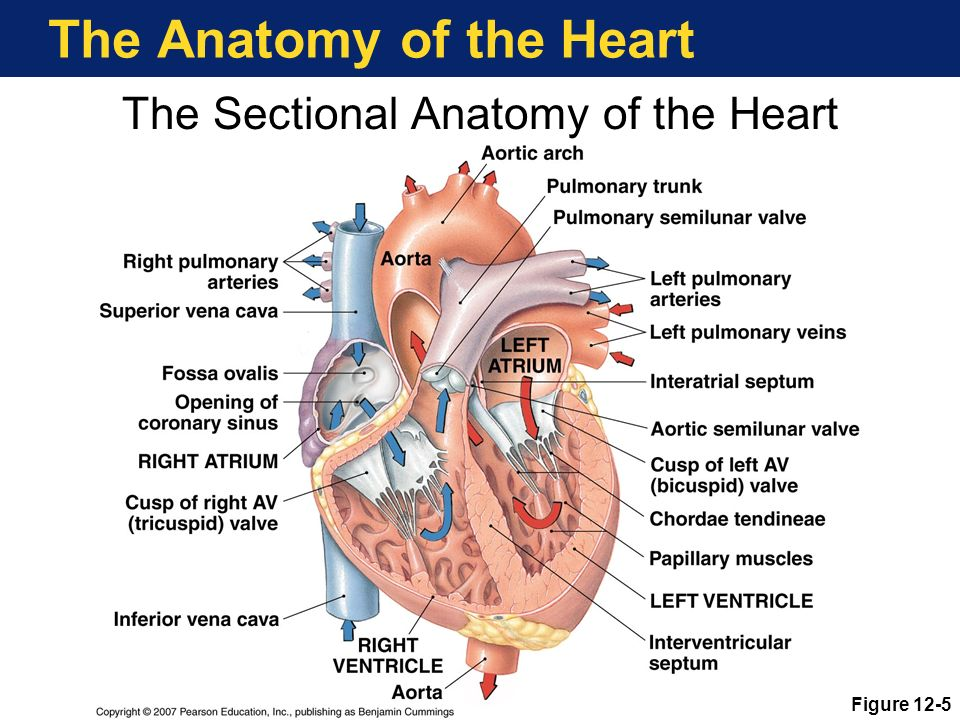 Heart\'s Place in the Circulation - ppt download