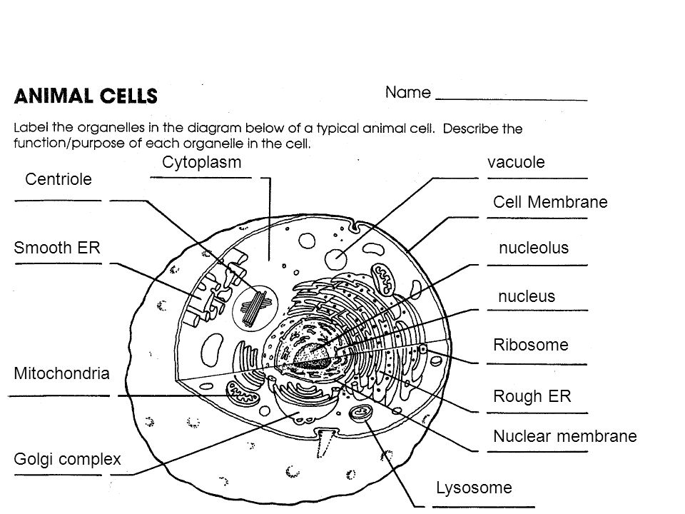 cytoplasm vacuole centriole cell membrane smooth er