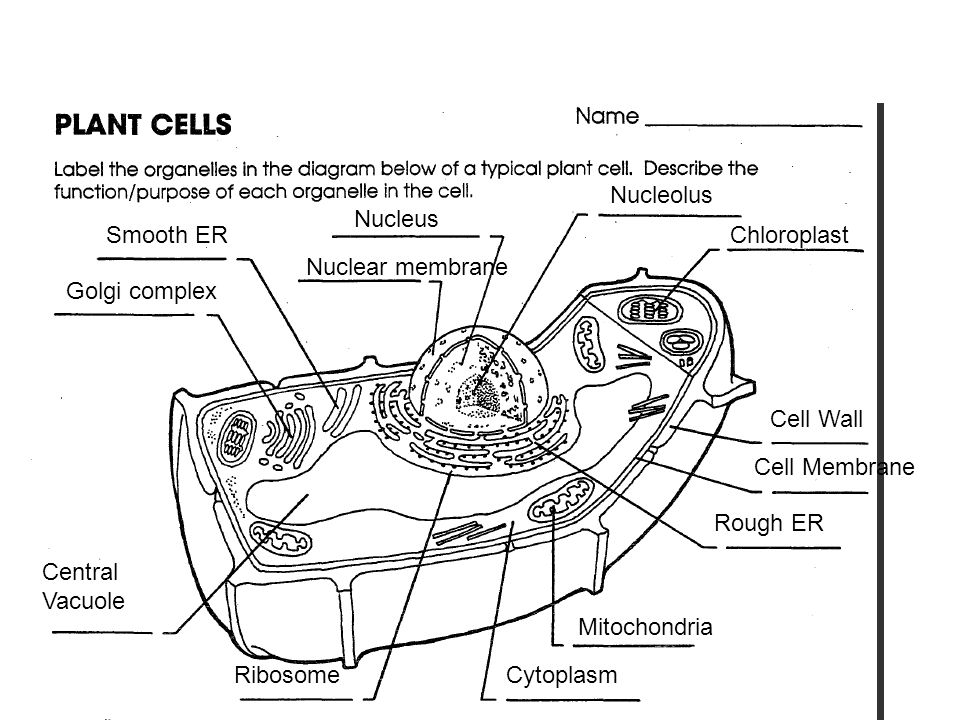 Organelles diagram typical plant cell search for wiring diagrams cytoplasm vacuole centriole cell membrane smooth er nucleolus rh slideplayer com plant cell organelles diagram labels plant cell diagram and functions ccuart Gallery