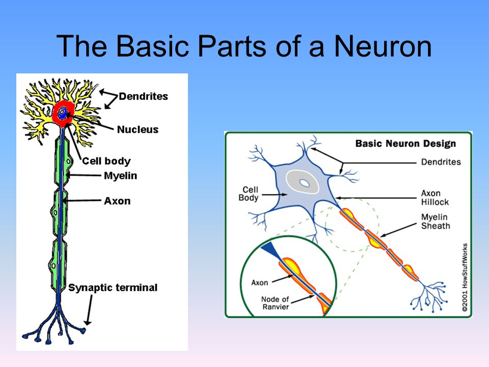The Basic Parts of a Neuron