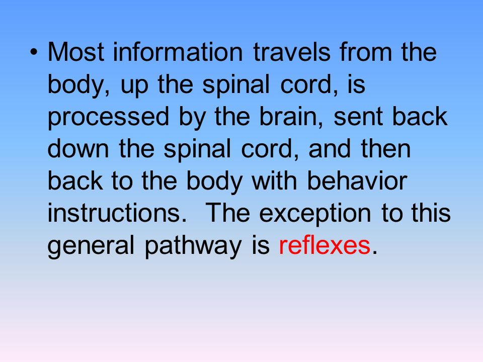 Most information travels from the body, up the spinal cord, is processed by the brain, sent back down the spinal cord, and then back to the body with behavior instructions.