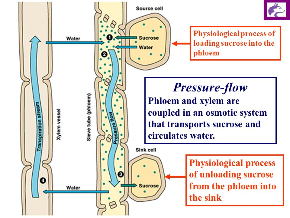 Translocation In The Phloem Ppt Download