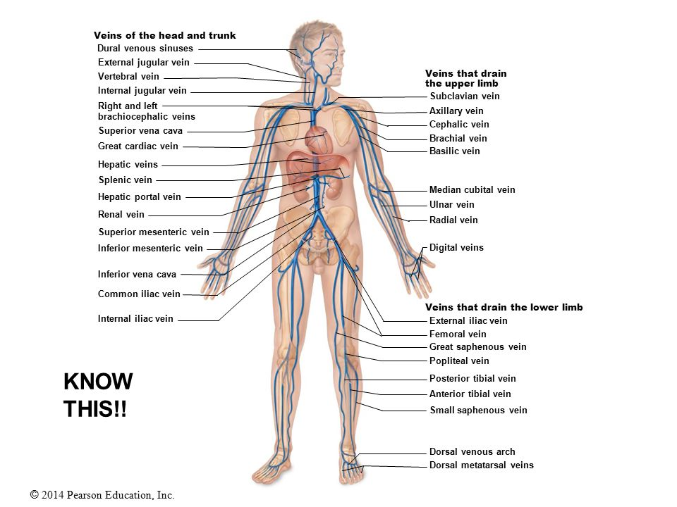 20 Blood Vessels Ppt Video Online Download