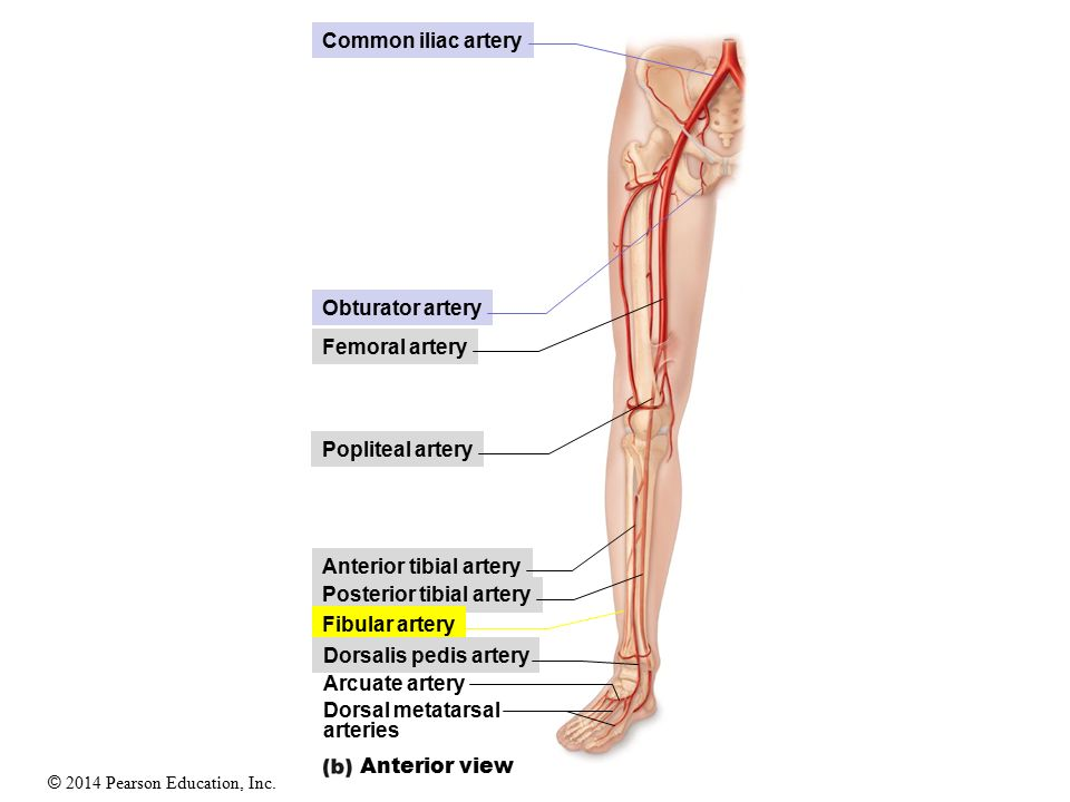 Perfect Anterior Tibial Artery Pictures - Anatomy And Physiology ...