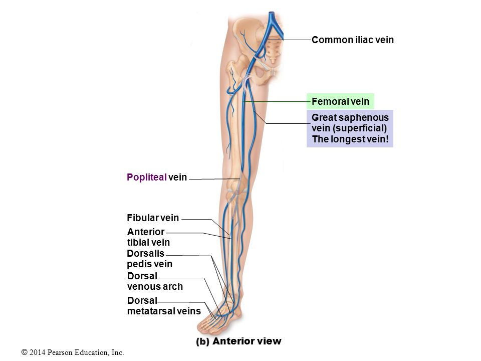 Modern Anatomy Of Femoral Vein Photos - Anatomy And Physiology ...