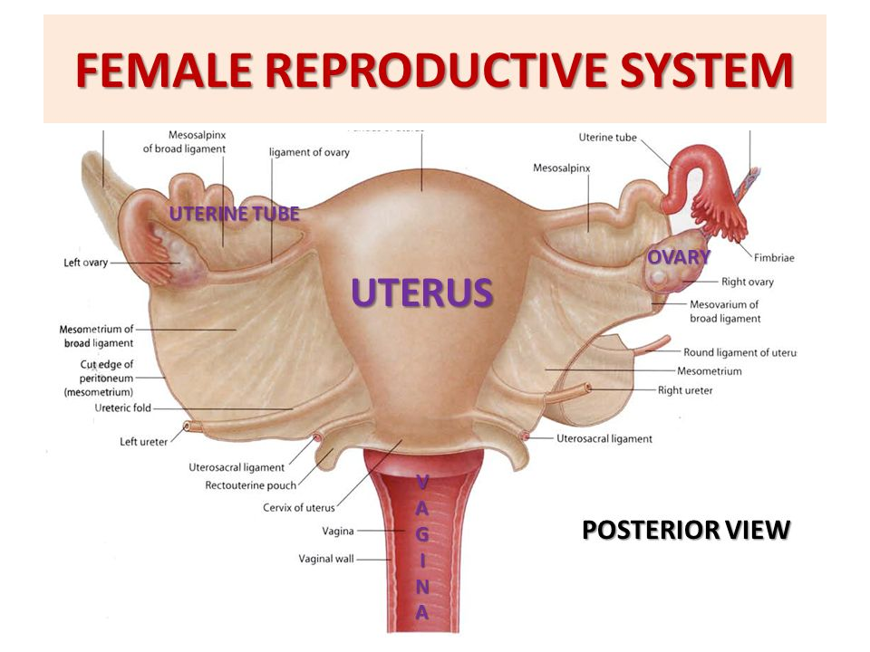 Anatomy Of The Female Reproductive System Ppt Video Online Download