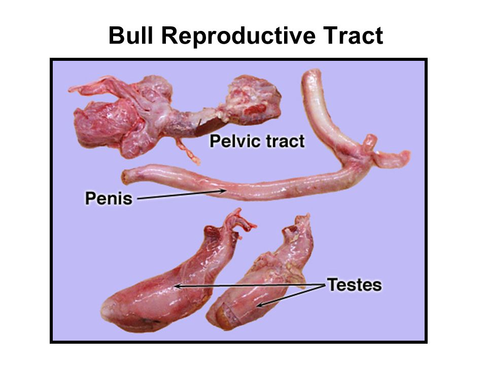 Lec 3: Male Reproductive Tract Anatomy - ppt video online download