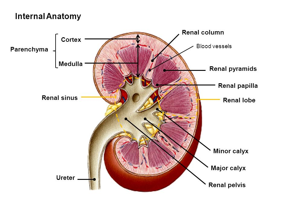 Unique Renal Column Mold - Anatomy And Physiology Biology Images ...