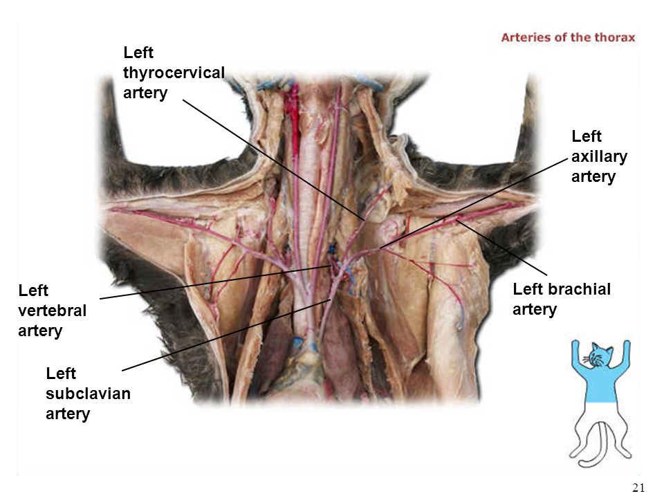 Biology 102 Laboratory 3 Arteries I Humancat Gross Anatomy