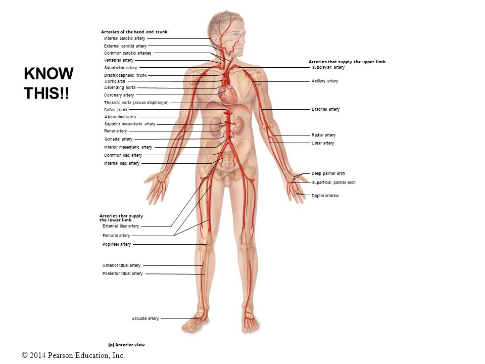 Blood Vessels Study Guide Ppt Video Online Download