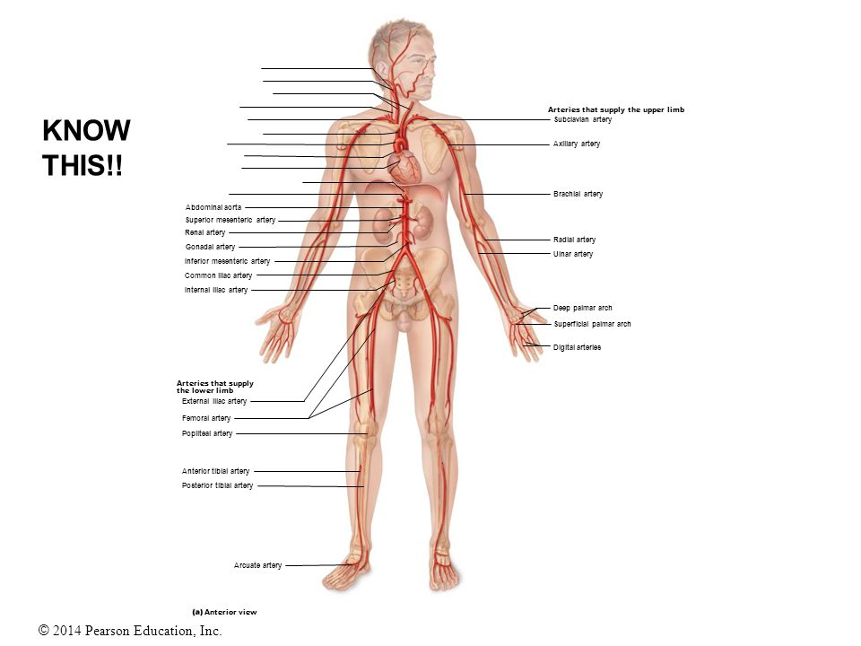 Blood Vessels Study Guide. - ppt video online download