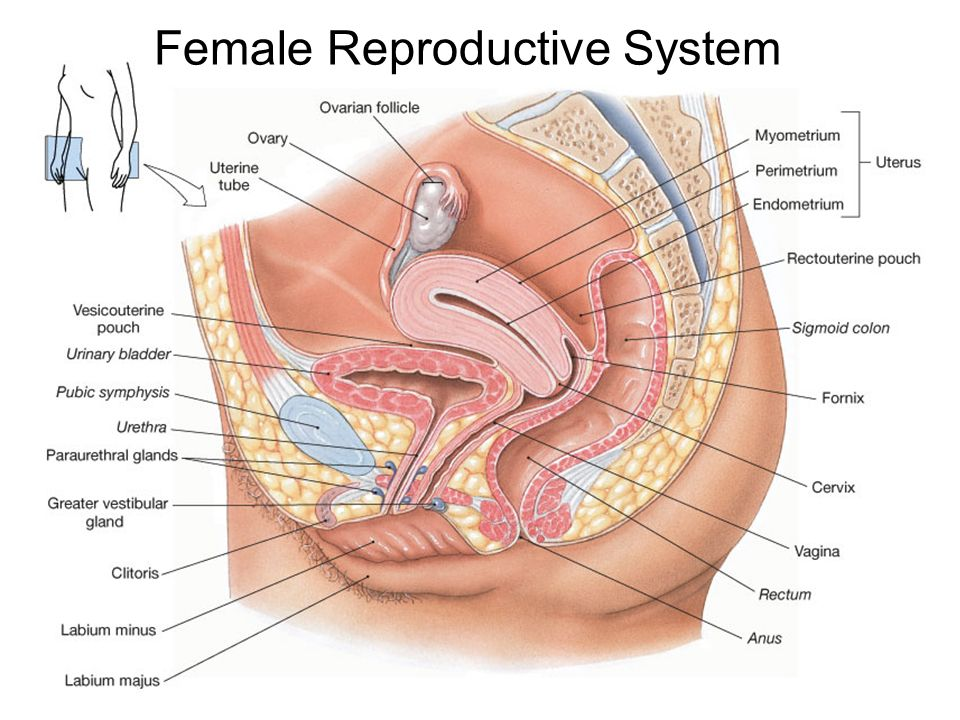 The Female Reproductive System Notes Best Photo Gallery For Website