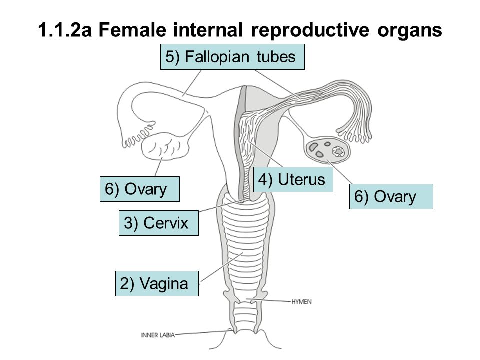 Sexual reproduction in animals ppt download 112a female internal reproductive organs ccuart Gallery