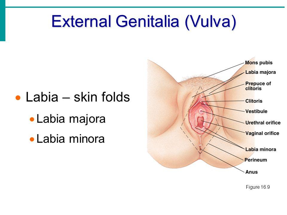 Vestibule in vagina