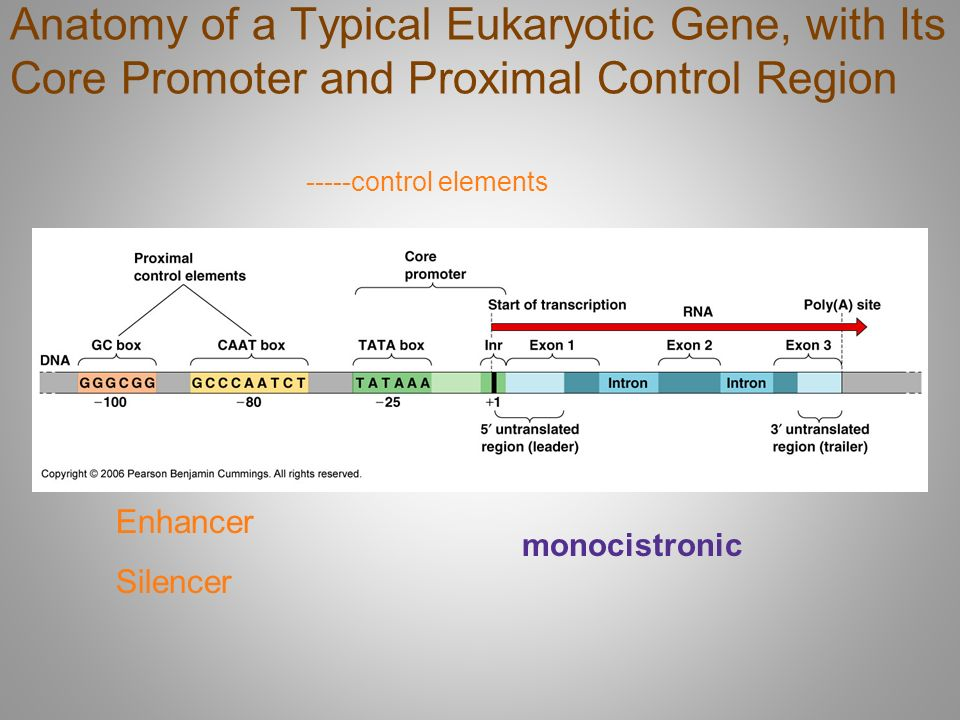 Awesome Anatomy Of A Gene Collection - Anatomy And Physiology ...