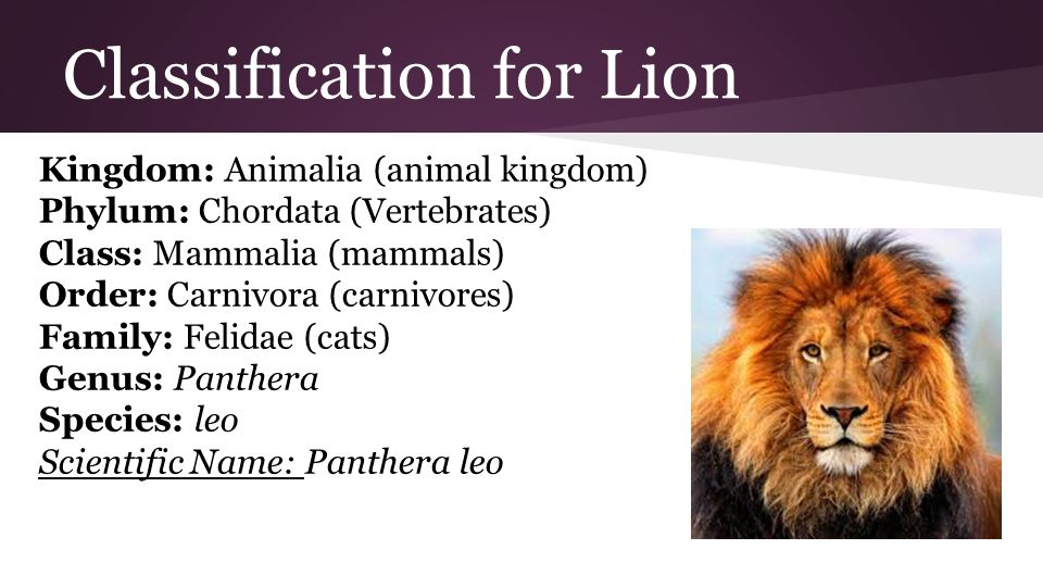 Image result for classifying a lion