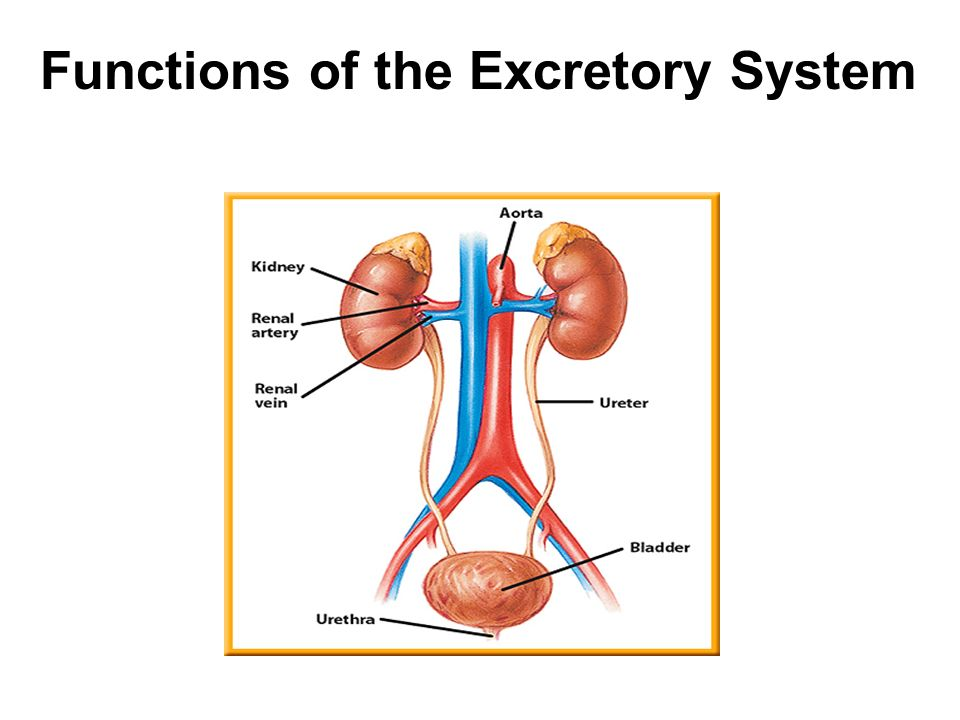 Functions of the excretory system ppt download 1 functions ccuart Gallery