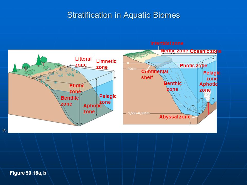 the littoral zone Littoral zone 1 the area in shallow, fresh water and around lake shores where light penetration extends to the bottom sediments, giving a zone colonized by rooted plants2 in marine ecosystems the shore area or intertidal zone where periodic exposure and submersion by tides is normal.