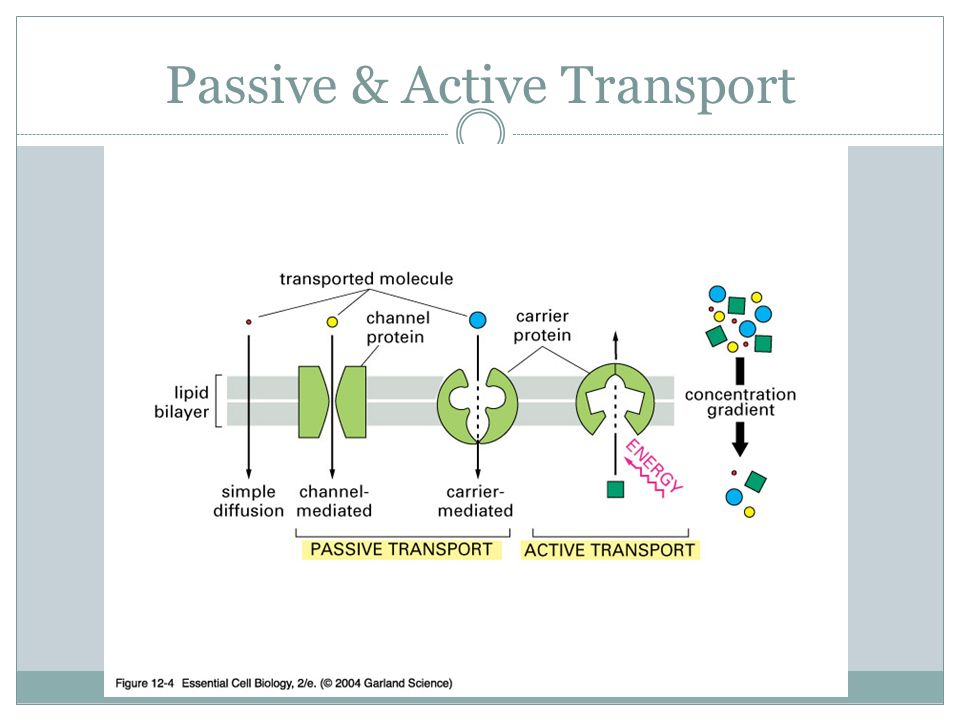 Cell membrane active transport diagram search for wiring diagrams cell membrane active transport diagram images gallery ccuart Image collections